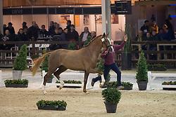 059, Quanto Curo vh Bloemenhof<br /> BWP Hengsten keuring Koningshooikt 2015<br /> © Hippo Foto - Dirk Caremans<br /> 21/01/16