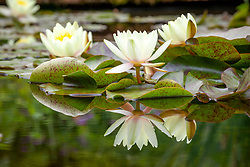 Waterlilies in the Lily Pool at Hidcote Manor Garden