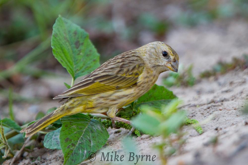 Saffron Finch (Sicalis flaveola) searching for food at Araras Eco Lodge (Pantanal, Mato Grosso, Brazil)