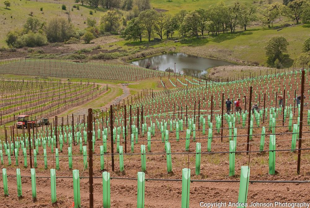 New vineyard planting at Abacela Winery estate vineyard, Umpua Valley, Southern Oregon