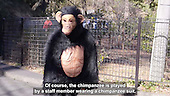 Funny Drill held once a year for Chimpanzee escape....
