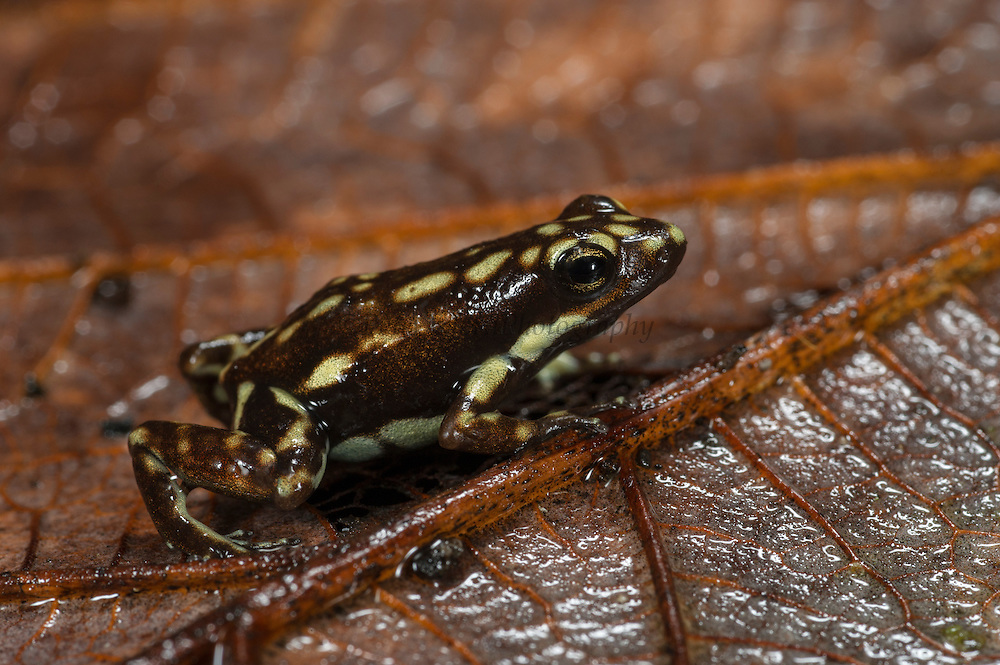 Poison Arrow Frog (Epipedobates darwinwallacei)<br /> CAPTIVE<br /> Central ECUADOR. South America<br /> RANGE: Ecuador, <br /> Andean slopes of central Ecuador<br /> 1400m<br /> Epibatidine skin secretions used in medical research<br /> Vulnerable