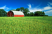 Red barn and wheat field<br />Myrtle<br />Manitoba<br />Canada
