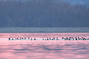 Canvasbacks raftd in early morning light.