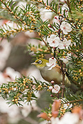 Waxeye feeding on a blossom tree in the spring, Southland, New Zealand