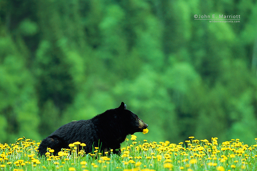 Black bear in dandelions, near Golden, BC, Canada