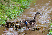 Female mallard duck with newly hatched ducklings, Anas platyrhynchos, on a stream in springtime at Swinbrook, the Cotswolds, UK