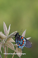 03004-01018 Pipevine Swallowtail (Battus philenor) male in Marion Co., IL