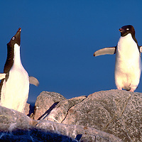Penguin of the Day - Adelie