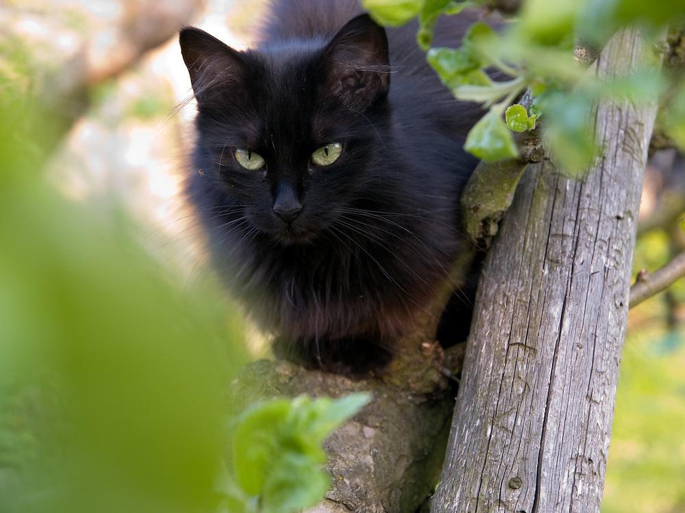Haus- und Strassenkatze Maxi in einem Baum.<br /> <br /> Street- and housecat Maxi in a tree.