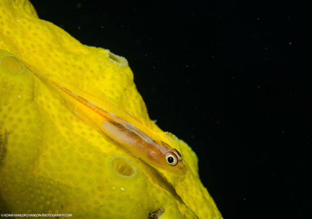 Snooted light shot of a Mozambique host goby.