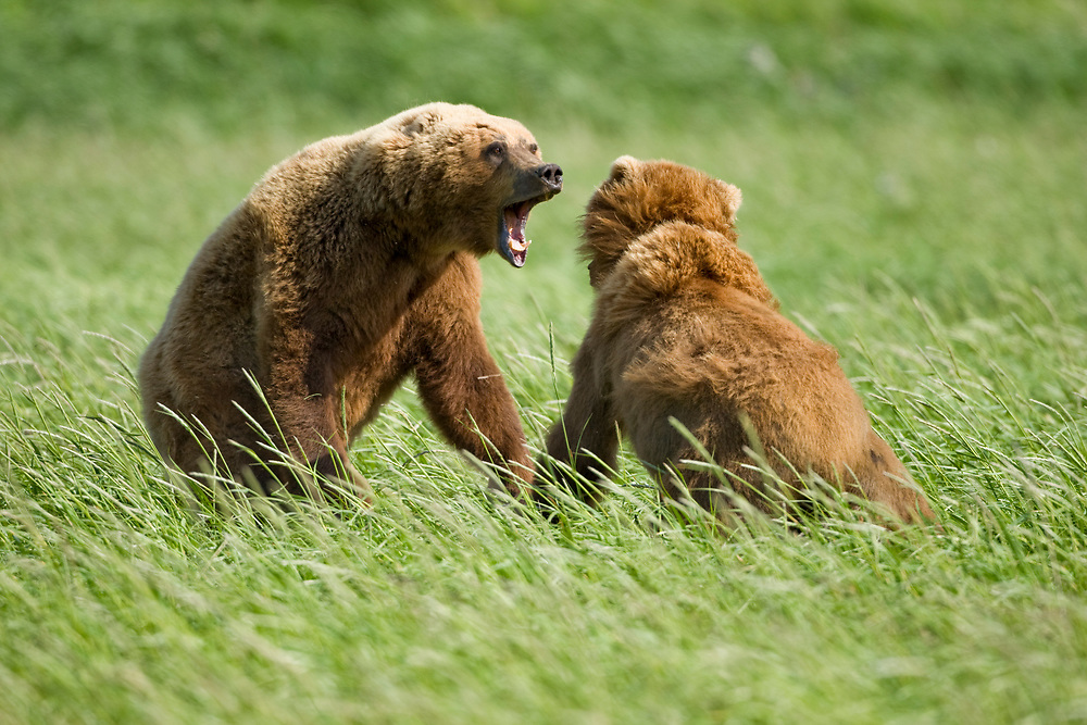 USA, Alaska, Katmai National Park, Brown bear (Ursus arctos) fighting in tall grass along Hallo Bay