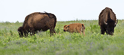 A recently born bison calf, the first born at the Tallgrass Prairie National Preserve since at least the mid-1800s when the property was fenced for cattle ranching, grazes with the rest of the bison herd. The calf was born on Mother's Day, May 9, 2010. In October 2009, the Tallgrass Prairie National Preserve brought 13 genetically pure bison from Wind Cave National Park in South Dakota. The preserve plans to add more bison from Wind Cave with a final herd size between 75 and 100 bison. Newly born bison are lighter in color but as they grow older, their color changes to dark brown. The pictured older bison are losing their winter coat to help them stay cool. Birds use spent bison hair to line their nests. Tallgrass Prairie National Preserve is the only unit of the National Park Service dedicated to the preservation of the tallgrass prairie ecosystem. The Tallgrass Prairie National Preserve is co-managed with The Nature Conservancy. The 10,894-acre preserve is located in the Flint Hills of Kansas in Chase County near the towns of Strong City and Cottonwood Falls.