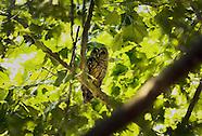 20120623 Owl