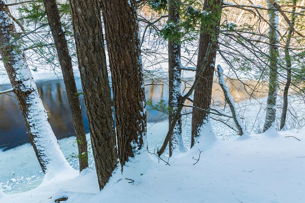 Hemlock trees on the bank of the Ipswich River at the Julia Bird Reservation in Ipswich, Massachusetts. Winter.