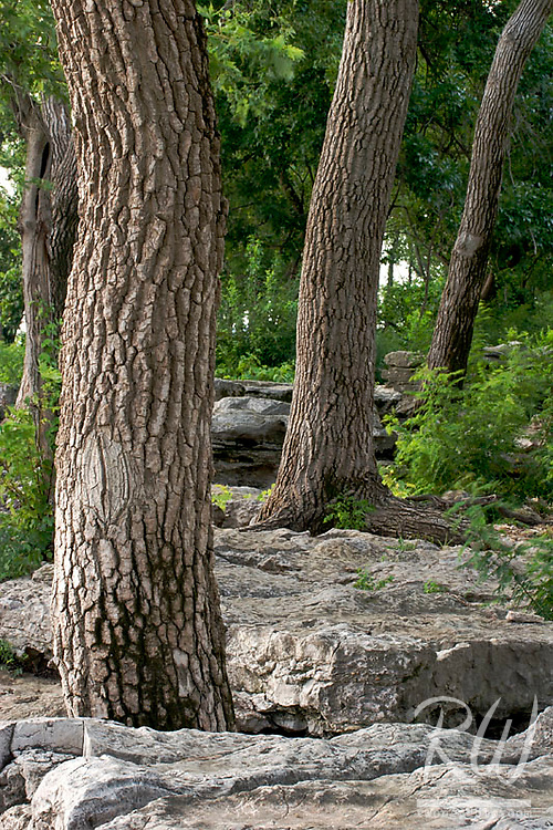 Three Tree Trunks on Fossil Beds, Falls of the Ohio State Park, Indiana