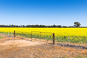 rusted steel gates and fence in field of canola near Katunga, Victoria Australia <br />