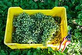 Conegliano -Prosecco harvest