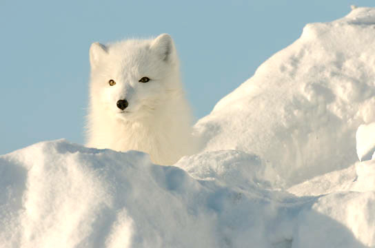 Arctic Fox (Alopex lagopus) Along the ice edge of Hudson Bay, Cape Churchill, Manitoba, Canada. November. Winter.