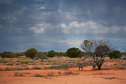 Red kangaroo  (Macropus rufus) sits under a tree on a gibber plain against a dramatic stormy sky at sunset,  Sturt Stony Desert,  Australia