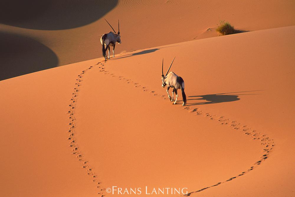 Gemsbok in sand dunes, Namib-Naukluft National Park, Namibia