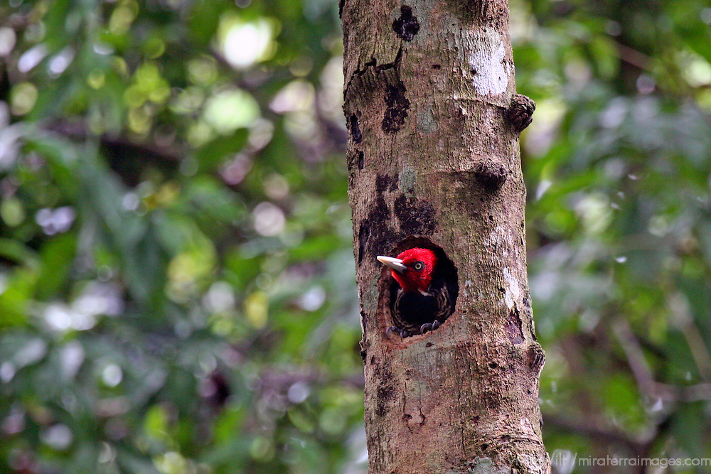 Central America, Costa Rica, Manuel Antonio. Pale Billed Woodpecker in tree.