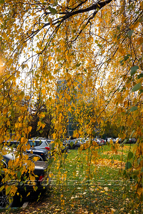 Tree with yellow leaves in Moscow at fall.