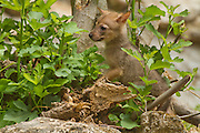 Cubs of a Golden Jackal (Canis aureus), also called the Asiatic, Oriental or Common Jackal in a den in a fig tree, Photographed in Hula valley, Israel