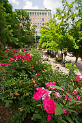 Stock photography of roses at Basin Park in Eureka Springs, Arkansas.