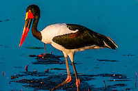 Saddle-billed stork in a shallow stream, near Kwara Camp, Okavango Delta, Botswana.