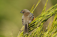 Spotted Towhee (Pipilo maculatus), Courtenay, Vancouver Island, Canada   Photo: Peter Llewellyn