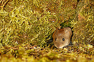 Bank Vole (Clethrionomys glareolus) adult emerging through hole in moss-covered wall, South Norfolk, UK. July.
