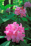 Rhododendrons in the Lady Bird Johnson Grove, Redwood National Park, California USA
