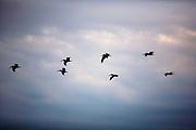 Brown pelicans at Weedon Island Preserve, St Petersburg FL