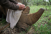 White rhinoceros (Ceratotherium simum) darted for relocation and cutting off of horns. Adding micro chips to horns before removing them.<br /> Private Farm<br /> SOUTH AFRICA<br /> RANGE: Southern & East Africa<br /> ENDANGERED SPECIES