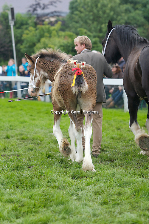 Best Shire Foal<br /> Mr R Bedford's  Hartcliff Eva  f 2012<br /> Sire - Boothay Richard<br /> Dam - Woodside May Queen