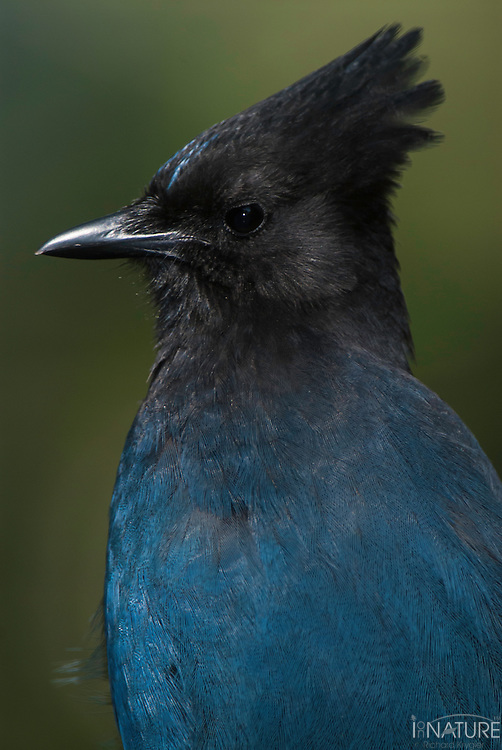 Portrait of Steller's Jay.