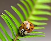 Image of a ladybug on a fern leaf