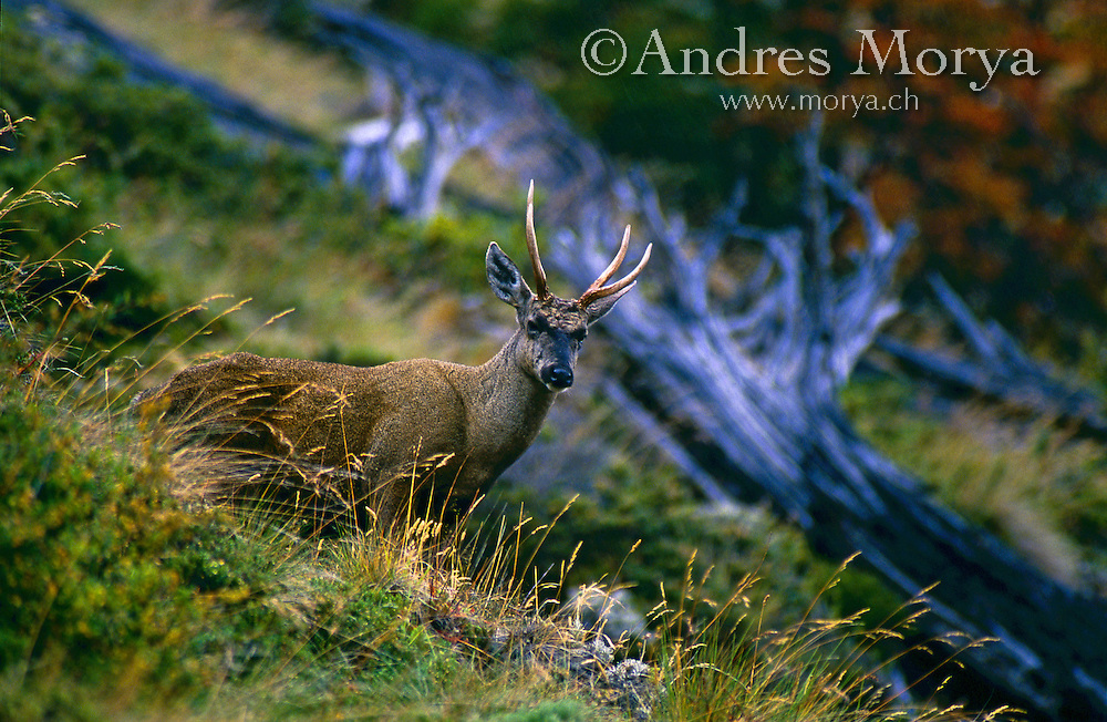 Southern Huemul (Hippocamelus bisulcus), Aysen , Chile, Patagonia Image by Andres Morya