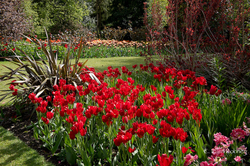 Tulip 'Roulette', bright red tulips in a bed at Pashley Manor Gardens, Ticehurst, East Sussex, UK