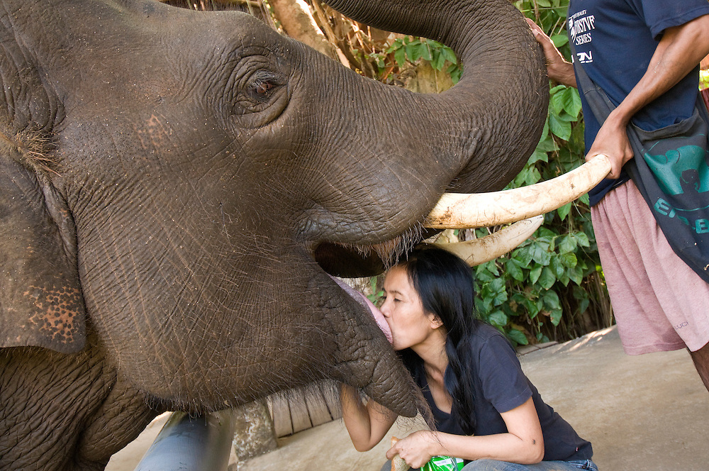 "Lek with Hope at the Elephant Nature Park near Chiang Mai, Thailand.  ..Hope is the most active and mischievous elephant in the park, whom she rescued as a baby.  ""I spoiled him.  Now he thinks he is a prince here,"" she admits.  When Hope first started living at the park he went up to Uncle Mac the tallest elephant in Thailand trying to intimidate him.  Lek says, ""Hope thought he was a big boy,"" but Uncle Mac, twice his size, was not afraid of him. But she explains - everyone at the park must obey Hope.  ..One day a local rafting guide poked Hope with a stick and laughed as he was guiding clients down the river passing through the park.  Lek says Hope never forgot that man.  Hope would allow every rafting guide and their clients to pass with no problem, but every time that man appeared on the river Hope would run and turn his raft over.  She says the man tried shaving his head as a disguise, but ended up having to quit.  Hope always remembered him.   ..However, Lek says, ""The vet [veterinarian] is Hope's number one enemy.""  One time Hope injured his tusk fighting with an elephant named Jungle Boy.  The vet used a huge painful needle to cure Hope's infection.  Lek laughs as she continues, ""A few weeks later the Vet walked past Hope and he felt something hit the back of his head that was very wet.  The vet could feel and smell that it was poop.  Hope just grabbed his poop and threw at the vet.  Then Hope stood their innocently pretending he didn't do it!  The vet turned away and Hope did it again!""  Even today the vet can't go near Hope unless the ground is cleaned up first.   Lek says, ""Oh my god.  Hope causes me so much trouble.  He always has to show everybody who is the boss.""   ."