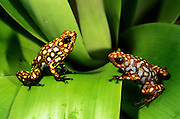 Poison dart frogs (Dendrobates sylvaticus)<br /> CAPTIVE<br /> Chocó Region of northwest Ecuador<br /> ECUADOR. South America