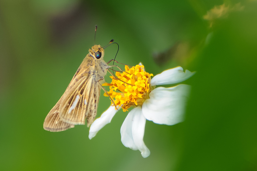 A salt marsh skipper feeding on beggarticks (a type of wild aster)  in the southern part of the Fakahatchee Strand where fresh and saltwater meet.