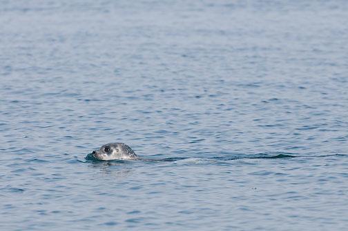 Ringed Seal in elu Inlet, Nunavut Canada