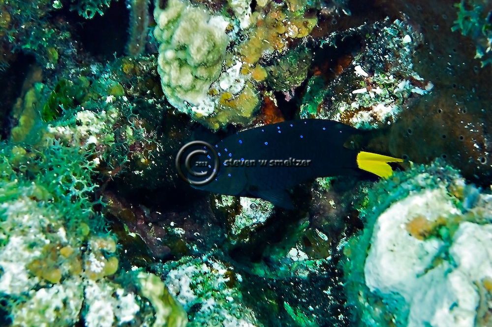 Yellowtail Damselfish Intermediate, Microspathodon chrysurus, Grand Cayman