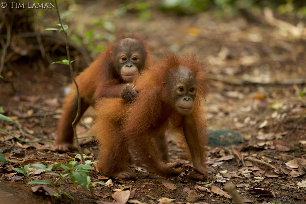 Lacking mothers, some of the orphan orangutans at IAR form bonds with eachother for comfort, and spend almost all their time together.<br /><br />Juvenile orangutans at IAR explore a patch of forest where they are learning skills for the wild.<br /><br /><br />International Animal Rescue (IAR)<br />Ketapang<br />West Kalimantan Province<br />Island of Borneo<br />Indonesia
