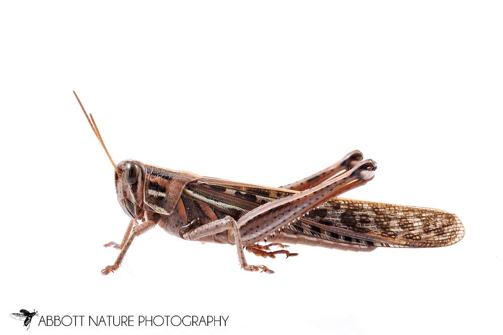 American Bird Grasshopper (Schistocerca americana)<br /> United States: Alabama: Tuscaloosa Co.<br /> Tulip Tree Springs off Echola Rd.; Elrod<br /> 16-Jan-2017<br /> J.C. Abbott #2885