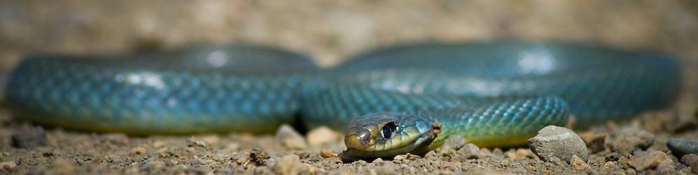 Eastern Racer snake sunning on a dirt road