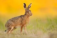 European Hare (Lepus europaeus) adult sitting in set-aside field, Norfolk, UK.