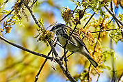 Yellow-rumped Warbler - Dendroica caronata sitting on a branch in a tree